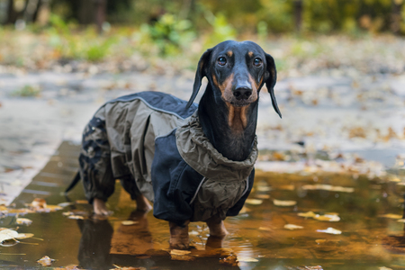 portrait of look at camera dog Dachshund breed, black and tan, dressed in a raincoat standing in a puddle, cool autumn weather