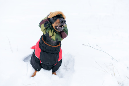 dog, dachshund, black and tan, in clothes (sweater) and hat, playing and barking on a snowy meadow Stock Photo - 118904731