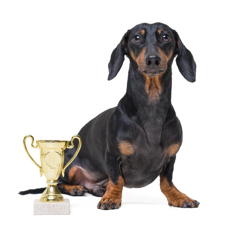 Pride cute and playful winning dog dachshund, black and tan, with trophy cup  isolated on white