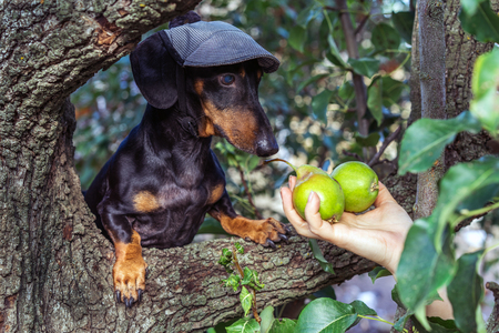 portrait of a dog (puppy) in a cap, breed dachshund black tan, in a vegetable garden looks at a hand with pears. Harvesting Standard-Bild - 118909323