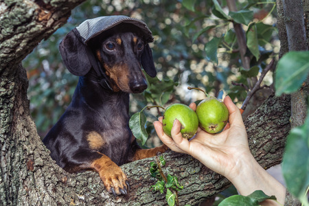 portrait of a dog (puppy) in a cap, breed dachshund black tan, in a vegetable garden looks at a hand with pears. Harvesting Standard-Bild - 118909353