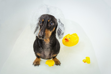 funny  dachshund, black and tan, takes a bath with yellow plastic duck, wearing a bathing cap. Dog washes Stock Photo