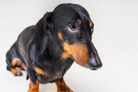 dog of the breed of dachshund, black and tan, looks guilty and scary to his master, on a gray background Standard-Bild - 118910502