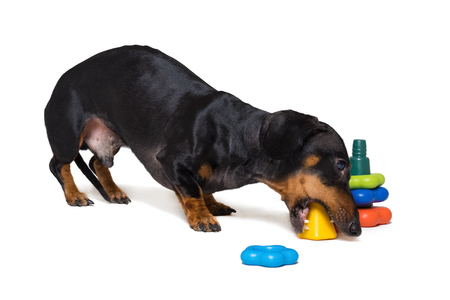 dog puppy dachshund, black and tan, playing pyramid toy, isolated on white background Stock Photo - 118910558