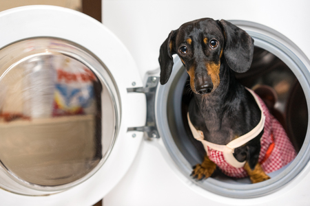 Adorable dog breed of dachshund, black and tan, looking from washing machine.  Laundry and dry cleaning pet service.  Funny ad for your business Standard-Bild - 118910738