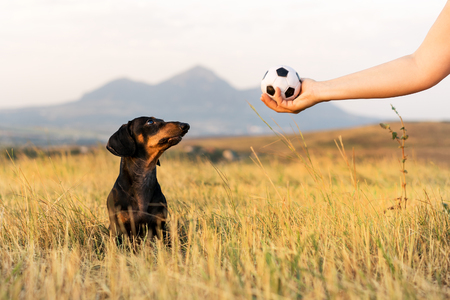 dog (puppy), breed dachshund black tan, looks at the host's hand with the ball in anticipation of the game. Dog playing in the game with a man.