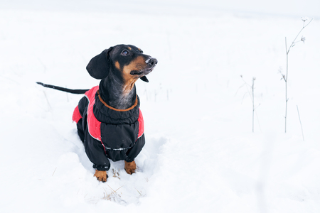 portrait cute dog of the Dachshund breed, black and tan, in a red sweater, walking in a snow park