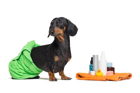 joli chien teckel, noir et feu, enveloppé dans une serviette verte, après s'être douche avec un canard jaune en caoutchouc, bidons de shampoing, accessoires de salle de bain, isolés sur fond blanc