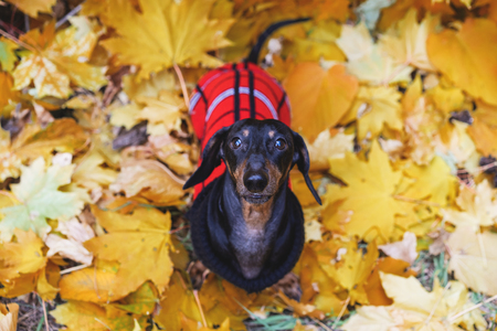 top view on sweet portrait of look away dog Dachshund breed, black and tan, in a red and  black wear (sweater) sits among the yellow foliage (leaves)  in the park