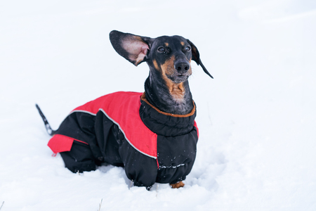 beautiful dog, dachshund, black and tan, in clothes (sweater), standing in the snow raising his ear upwards Stock Photo