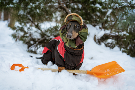 cute dog dachshund, black and tan, wearing clothes (sweater) and a hat with an orange shovel for snow cleaning, stands in a snowdrift in the winter on the street Stock Photo