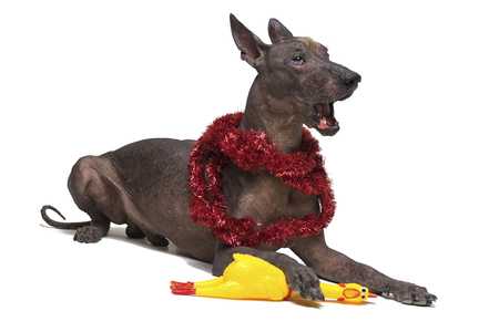 Mexican Hairless dog in the Christmas tinsel, xoloitzcuintli, lies and yawn (gape) on a isolated white background, holding a yellow rubber toy of a cock with a paw. Change the symbol of the animal year