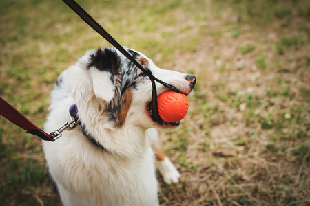 Portrait of a beautiful young Australian Shepherd Blue Merle plays and gnaws ball for training