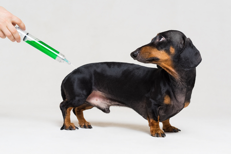 frightened dog dachshund vaccination with a big green syringe isolated on gray background