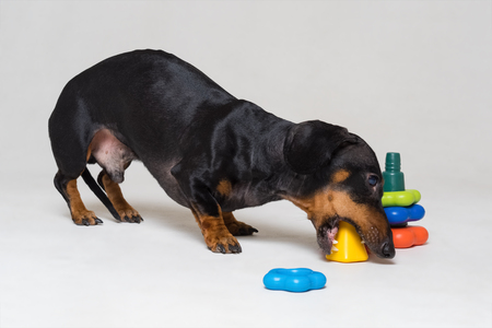 dog puppy dachshund, black and tan, playing pyramid toy, isolated on gray background