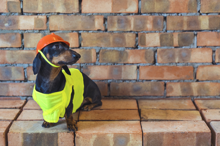 Dog builder dachshund in an orange construction helmet  at the brick wall background Stockfoto