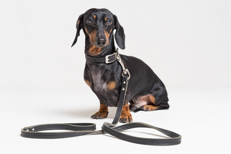 Dog dachshund, black and tan, with leather leash, isolated on a gray background