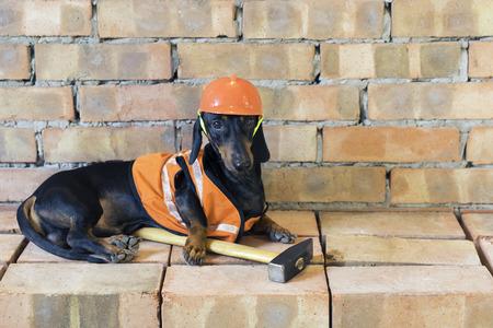 Dog builder dachshund in an orange construction helmet  at the brick wall background Standard-Bild - 118967686