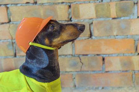 close-up dog builder dachshund in an orange construction helmet  at the brick wall background Standard-Bild - 118967697