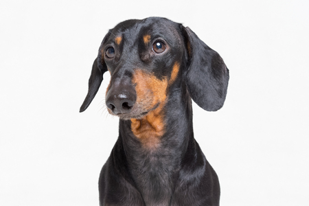 Portrait of an adorable dog (puppy) of the dachshund  breed, black and tan, on isolated on gray  background Standard-Bild