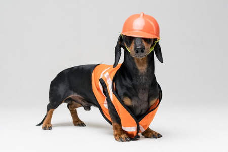 cute dog builder dachshund in an orange construction helmet and a vest obscures the eyes, isolated on gray background, look at the camera