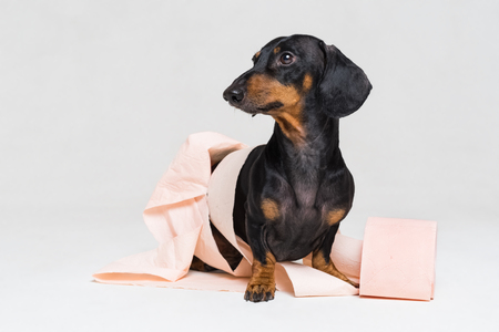 Funny dachshund dog puppy,black and tan, is playing with a roll of peach toilet paper, isolated on gray background Stock Photo - 118967744