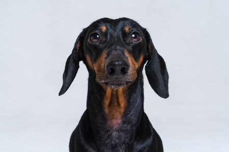 Portrait of an adorable short haired Dachshund, black and tan, studio shot, isolated on gray. Stock Photo