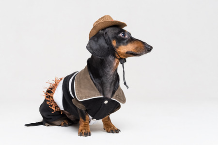 dachshund dog with Cowboy costume and western hat isolated on gray background Stock Photo - 118967782