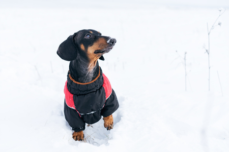 cute dog, dachshund, black and tan, in clothes (sweater), standing on the snow raising his paw Stock Photo