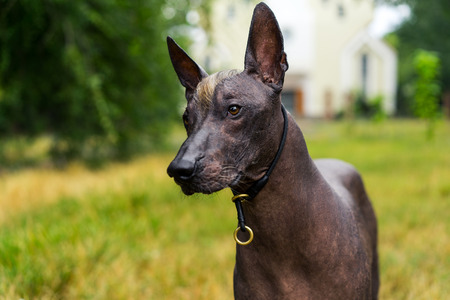 Close up portrait Mexican hairless dog (xoloitzcuintle, Xolo) on a background of green grass  in the park