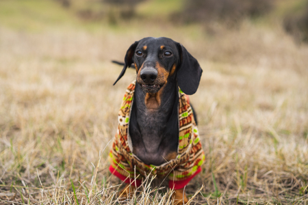 portrait dog of the Dachshund breed, black and tan, dressed in a sweater playfully walks in the park in the summer