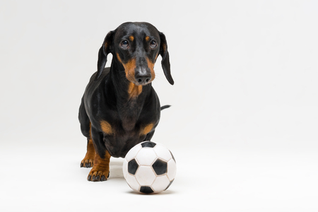 dog of breed of dachshund, black and tan, with a white soccer ball isolated on gray background Stock Photo - 118967817
