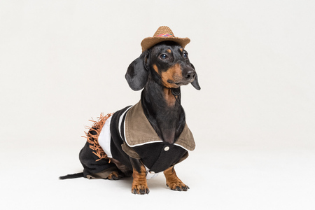 Close-up portrait in full growth dachshund dog with Cowboy costume and western hat isolated on gray background.