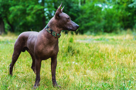 Close up portrait One Mexican hairless dog (xoloitzcuintle, Xolo) in full growth in a red collar on a background of green grass and trees in the park