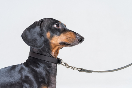 portrait of a beautiful dachshund, black and tan, with a leather dog collar, looking up at his master while waiting for a walk, isolated on gray background Standard-Bild - 118977574