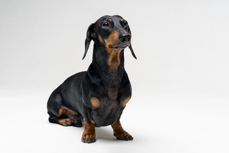 A dog (puppy) of the dachshund male breed, black and tan on a gray background