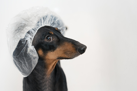 Cute dog dachshund, black and tan, takes a bath with soap foam, wearing a bathing cap close up Stock Photo