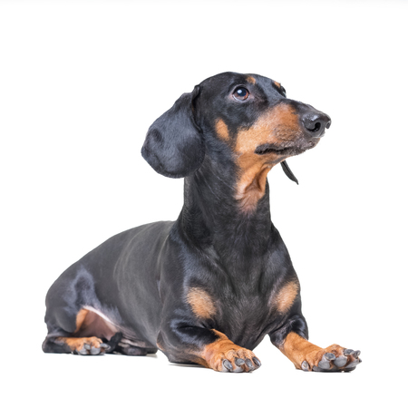adorable dog breed dachshund, black and tan, lying on white background.
