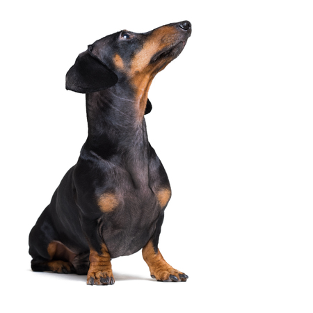 dog puppy dachshund, black and tan, looking up, isolated on white background Stock Photo - 118981984