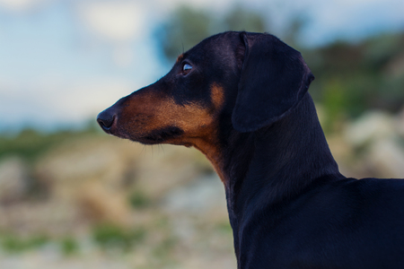 Closeup portrait of a dog (puppy), breed dachshund black and tan, against a blue sky
