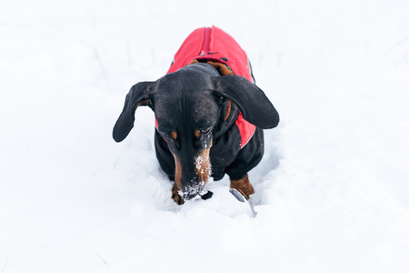 beautiful dog of the breed of dachshund, black and tan, in a red sweater playing with a ball on a snow Stock Photo