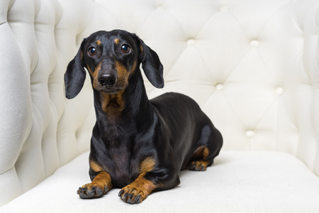 cute dog  Dachshund breed, black and tan, lies in a white armchair and looks into the camera Stock Photo - 118982277