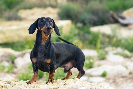 portrait of a dog (puppy), breed dachshund black and tan, stand on a stone against a background of green hills Stock Photo