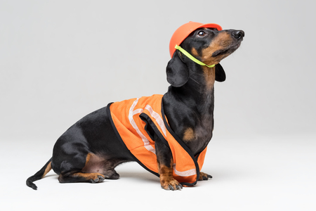 funny dog builder dachshund in an orange construction helmet and a vest, isolated on gray background, look to the top