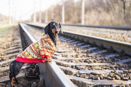 Tramp dog of the dachshund breed, black and tan, dressed in a sweater stands on rails on the railway 免版税图像