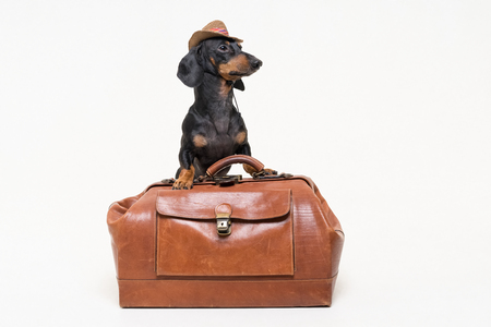 Dachshund breed dog, black and tan, in cowboy hat stands on vintage suitcase, is isolated on gray background