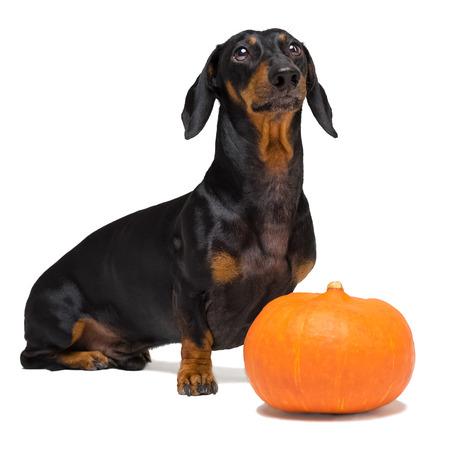 Gracioso retrato de un perro (cachorro) raza dachshund negro bronceado y una calabaza festiva naranja, aislado en un fondo blanco.