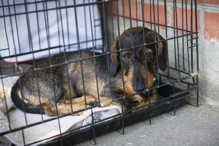 sad dog dachshund sits in an iron cage Stock Photo - 118982524