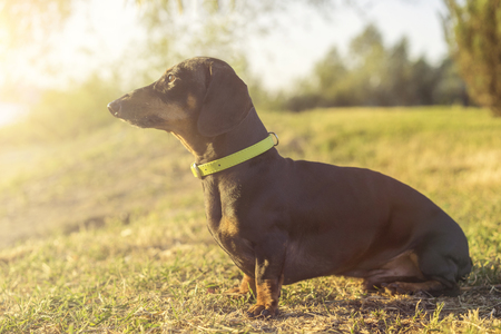 Dog puppy dachshund in a green slinger sits on a background of green grass at sunset Stock Photo - 118982526