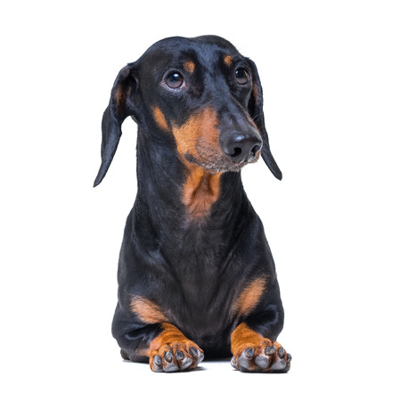 A dog (puppy) of the dachshund  breed, black and tan on isolated on white background Stock Photo